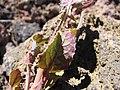 Starr-090629-1956-Sonchus oleraceus-leaves-Science City-Maui (24672169620).jpg