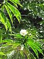 Starr-090702-2027-Costus speciosus-flower and leaves-Puaa Kaa Park Hana Hwy-Maui (24341483863).jpg