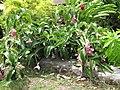 Starr-090720-3138-Medinilla magnifica-flowering habit-Iao Valley Rd-Maui (24970315635).jpg