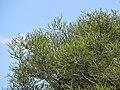 Starr-090806-4076-Euphorbia tirucalli-leaves-Kahului-Maui (24345018643).jpg