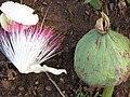 Starr-090813-4187-Barringtonia asiatica-flower and fruit-Kamalii Park Kahului-Maui (24603838979).jpg