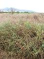 Starr-090814-4322-Solanum lycopersicum-fruiting habit-Industrial area Mokulele Hwy-Maui (24854261792).jpg
