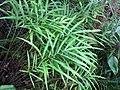 Starr-110307-1976-Pteris cretica-habit-Kula Botanical Garden-Maui (24709690069).jpg