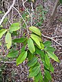 Starr-120229-2989-Syzygium cumini-leaves-Waikapu Valley-Maui (24509033133).jpg