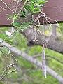 Starr-120312-3766-Wisteria floribunda-seedpod-Kula Botanical Garden-Maui (25111394116).jpg
