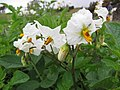 Starr-120620-7468-Solanum tuberosum-flowers-Kula Agriculture Station-Maui (25027479902).jpg