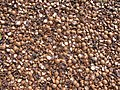 Starr-130214-1531-Macadamia integrifolia-lots of shells-Waihee-Maui (25179364276).jpg