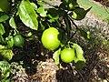 Starr-130504-4381-Citrus meyeri-fruit and leaves-Hawea Pl Olinda-Maui (24579938074).jpg