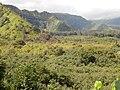 Starr-140909-1636-Hibiscus tiliaceus-habit view mauka into Koolau Gap-Wailua-Maui (24950016460).jpg