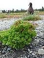 Starr-150327-0478-Euphorbia peplus-habit-Near Bart Hill Sand Island-Midway Atoll (24637629154).jpg