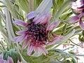 Starr 010807-0004 Argyroxiphium sandwicense subsp. macrocephalum.jpg