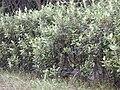 Starr 020118-0002 Rhodomyrtus tomentosa.jpg