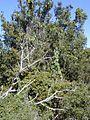 Starr 020226-0031 Passiflora ligularis.jpg