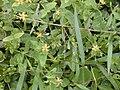 Starr 020803-0002 Hypericum mutilum.jpg
