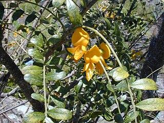 <i>Sophora chrysophylla</i> species of plant