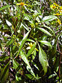 Starr 040731-0066 Bidens micrantha subsp. kalealaha.jpg