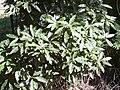 Starr 041018-0049 Pittosporum undulatum.jpg