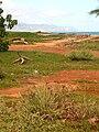 Starr 041102-0363 Cyperus javanicus.jpg