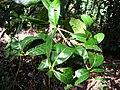 Starr 041113-0669 Nestegis sandwicensis.jpg