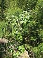 Starr 050817-3882 Rubus glaucus.jpg