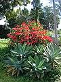 Starr 061201-1748 Euphorbia pulcherrima.jpg
