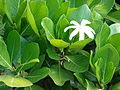 Starr 070221-4643 Gardenia sp..jpg