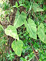 Starr 070306-5128 Philodendron sp..jpg