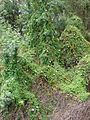 Starr 070320-5881 Ipomoea cairica.jpg