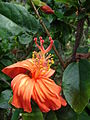 Starr 071121-0026 Hibiscus kokio subsp. saintjohnianus.jpg