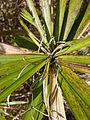 Starr 080609-7928 Cyperus involucratus.jpg