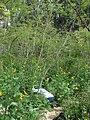 Starr 080610-8411 Leucaena leucocephala.jpg