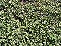 Starr 090121-0949 Solanum nelsonii.jpg