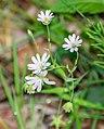 Stellaria holostea in Aveyron (4).jpg