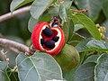 Sterculia quadrifida fruit with foliage.jpg