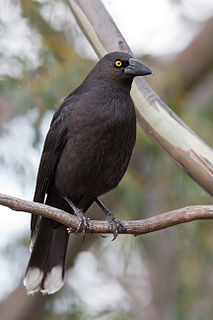 Black currawong large passerine bird endemic to Tasmania and Bass Strait islands
