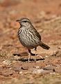 Striped pipit, Anthus lineiventris, at Walter Sisulu National Botanical Garden, Gauteng, South Africa (29369536722).jpg