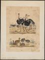 Struthio camelus - 1820-1860 - Print - Iconographia Zoologica - Special Collections University of Amsterdam - UBA01 IZ18900001.tif
