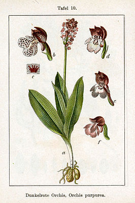 afbeelding in: Johann Georg Sturm: Deutschlands Flora in Abbildungen (1796)