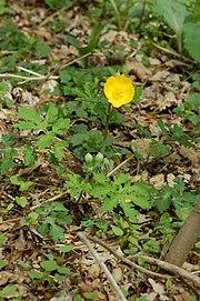 Stylophorum diphyllum.jpg