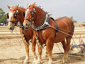 Paire de Suffolk Punch au labour.