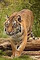 Sumatran Tiger (222139269).jpeg