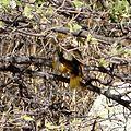 Summer Tanager hen. Piranga rubra - Flickr - gailhampshire.jpg