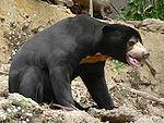 Sun Bear, Pengo.jpg