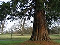 Sun catching the trunk of a Wellingtonia - geograph.org.uk - 663063.jpg