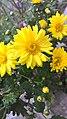 Sunflower by Rosidd 2.jpg