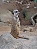 Suricata suricatta qtl1.jpg