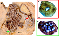 Susisuchus specimen.PNG