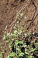 Sutera floribunda (Scrophulaiaceae) (6932194549).jpg