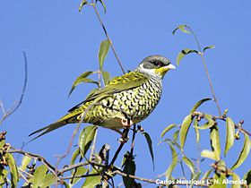 Swallow-tailed Cotinga (Phibalura flavirostris).jpeg