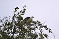 Swallow-tailed Kite (Elanoides forficatus) (14761911519).jpg